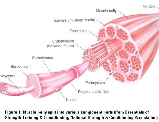 muscular system - ap biology, Muscles