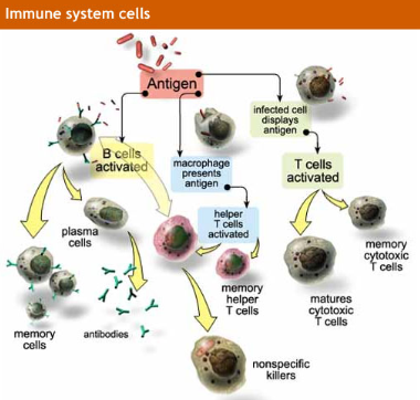 function of the immune system biology essay Journal of leukocyte biology considers manuscripts of original investigations focusing on the origins, developmental biology, biochemistry and functions of granulocytes, lymphocytes, mononuclear phagocytes, and other cells involved in host defense.