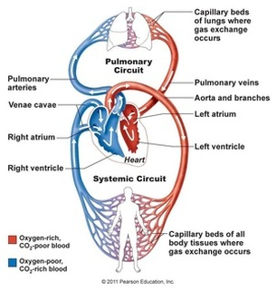 Hudson isd hudson middle school respiratory and circulatory systems function of the circulatory system ccuart Choice Image